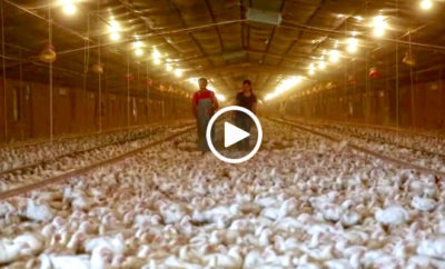 Perdue Farms Chicken Farming Video